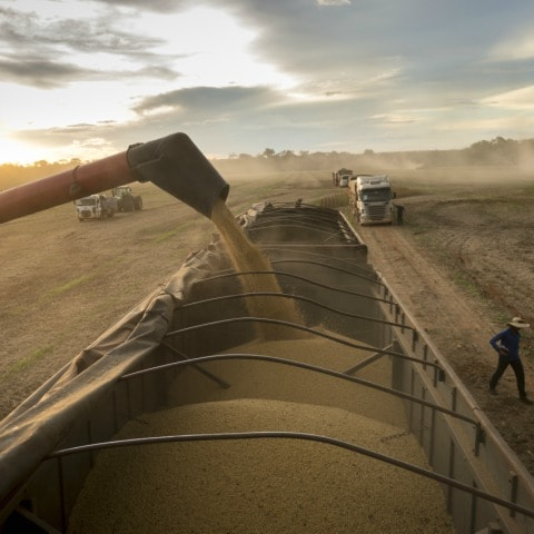 Cofco Soy Bean Harvest Rabobank